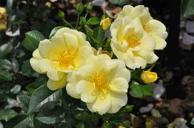 Carpet Rose Yellow The Garden Dept