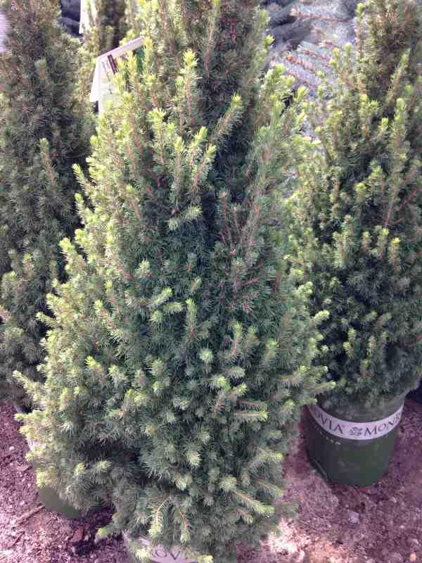 Picea Glauca Conica The Garden Dept