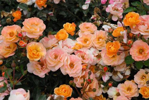 Rosa Carpet Amber Vidalondon