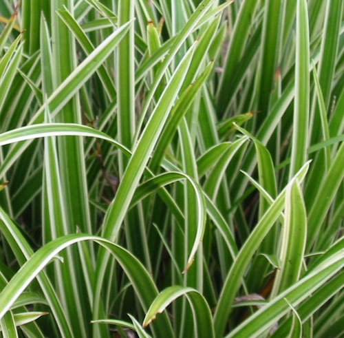Carex morrowii ice dance the garden dept for Variegated ornamental grass