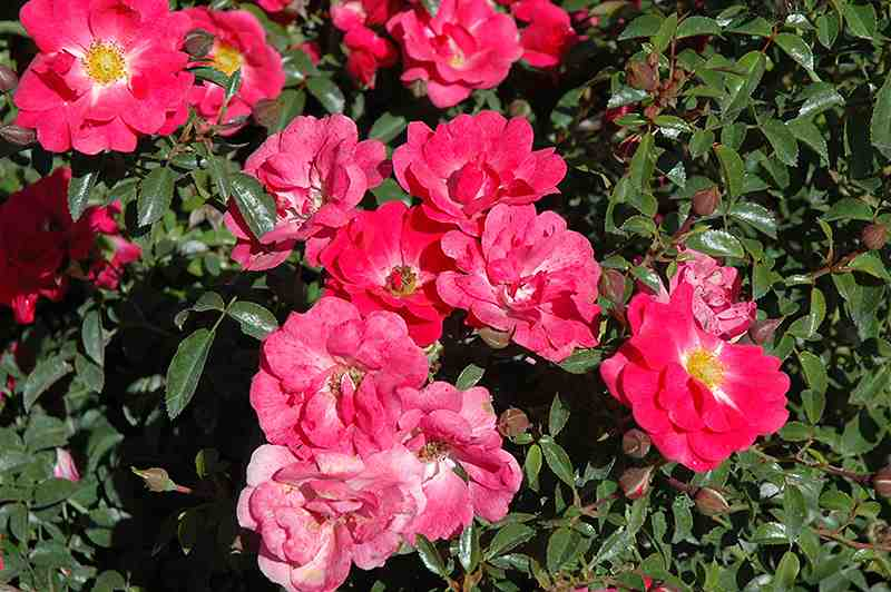 Flower carpet roses the garden dept carpet rose pink supreme mightylinksfo Image collections