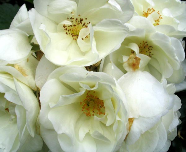 Flower carpet roses the garden dept carpet rose white mightylinksfo Image collections